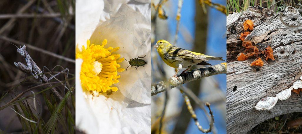 Algunas de las observaciones realizadas en el BioBlitz Monte de Boadilla. De izquierda a derecha: Ameles sp. (CC BY-SA 3.0 Ana), Psilothrix sp. sobre una flor de Cistus ladanifer (CC BY-A 3.0 Ana), Serinus serinus (CC BY-NC 3.0 Miguel Ángel Corujo) y Tremella sp. (CC BY-NC 3.0 patrirenegon).